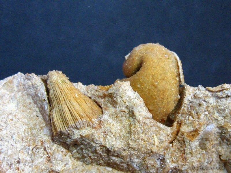 korall és csiga maradványa