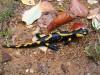 ilyen hidegben kell szalamandrát fotózni, amikor nem képes elfutni