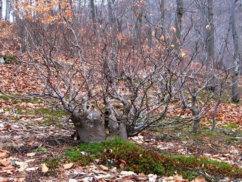 Természetes bonsai a bükkösben
